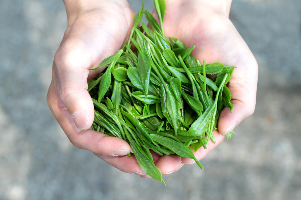 Seicha Matcha Tee während der Ernte